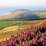 Blooming Purple Heather, Fields, sea. Isle of Man — Stock Photo #52277475