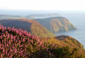 Blooming Purple Heather, Cliffs and Sea. Isle of Man — Stock Photo