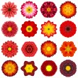 Постер, плакат: Collection Various Red Concentric Flowers Isolated on White