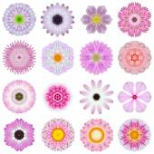 Collection Various Pink Concentric Flowers Isolated on White — Stock Photo