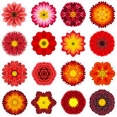 Collection Various Red Concentric Flowers Isolated on White — Stock Photo