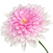 Pink Dahlia Flower large center Isolated on white — Stock Photo #54102849
