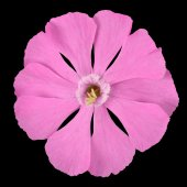 Pink Campion wildflower Isolated on Black — Stock Photo