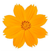 Yellow Singapore Daisy Wildflower Isolated — Stock Photo