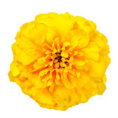 Yellow Marigold Wild Flower Isolated on White Background — Stock Photo