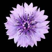 Purple Cornflower Flower Isolated on Black Background — Stock Photo