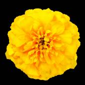Yellow Marigold Wild Flower Isolated on Black Background — Stock Photo