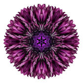 Purple Cornflower Mandala Flower Kaleidoscope Isolated on White — Stock Photo