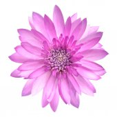 Pink Conflower Flower in Full Bloom Isolated on White — Stock Photo