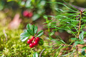 Lingonberry branch in the forest — Stock Photo