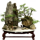 China bonsai — Stock Photo
