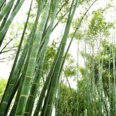 The bamboo groves — Stock Photo