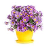 Purple autumn flowers in flowerpot — Stock Photo