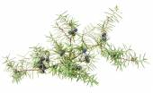 Juniper twig with berries — Foto Stock
