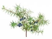 Juniper branch with berries — Stock Photo