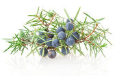 Juniper branch with berries — Stock Photo