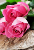Pink roses flowers — Stock Photo