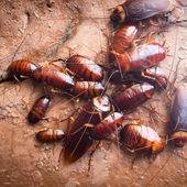 Cockroach — Zdjęcie stockowe