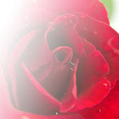 Red Rose Flower Background For Card And Wallpaper Design — Stock Photo