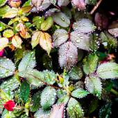 Rose flower leaves after rain — Stock Photo