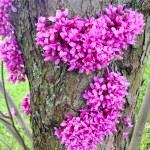 Redbud tree (Cercis canadensis) blossom — Stock Photo #58541053