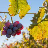 Kırmızı üzüm — Stok fotoğraf