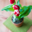 Bicolor red white  tulips in a clay  pot. — Stock Photo #66211505