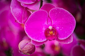 Kwiat różowy phalaenopsis orchid — Zdjęcie stockowe