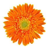 Orange gerbera flower isolated on white with clipping path — Stock Photo