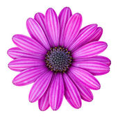 Blue osteospermum daisy flower isolated on white with clipping p — Stock Photo