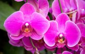 Phalaenopsis orchid flower — Stock Photo