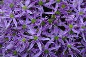 Garlic purple flower — 图库照片