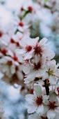 Kersenboom — Stockfoto
