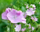 Flowering pink mallows — Stockfoto