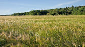 Maturation of grain  .Summer landscape — Stock Photo