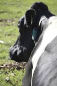 Three quarter profile of a Holstein Dairy cow — Stock Photo