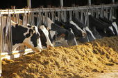Winter Cattle Feed — Stock Photo