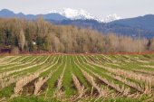 Corn Field in Winter Months — Stock Photo