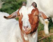 Grinning Goat — Stock Photo