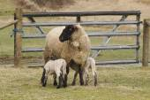 Nursing Lambs — Stock Photo