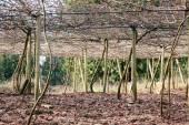 Vineyard Canopy or Trellis — Stock Photo