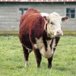Hereford Cow — Stock Photo #67842125