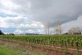 Raspberry crop on Canadas West Coast — Stock Photo