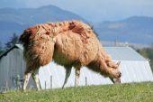 Llama's Thick Coat — Stock Photo