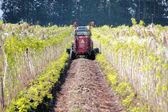 Washington Farmer Trimming  Raspberry Crop — 图库照片
