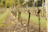 Spring Grapevines — Stock Photo
