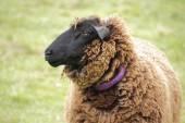Profil ovce Suffolk — Stock fotografie