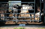 Livestock in Filthy Conditions — Stock Photo