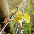 Medium Close-up Early Grapevine in Spring — Stock Photo #71221555