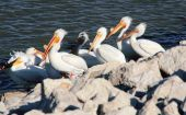 Pelicans During Breeding Season — 图库照片